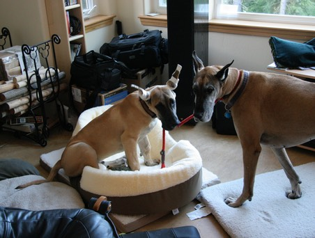 Captain leading Sassy - new dog teaching the old dog a trick?